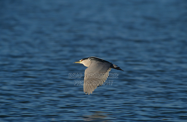 Black-crowned Night-Heron, Nycticorax nycticorax, adult in flight, Port Aransas, Texas, USA, April 2003