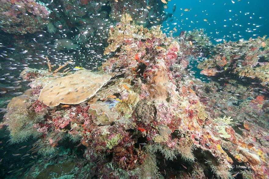 Hakura Thila, Mulaku Atoll, Maldives; an aggregation of Redfin Anthias and Slender Cardinalfish swimming over the coral reef