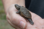 Diamondback Terrapin Turtle