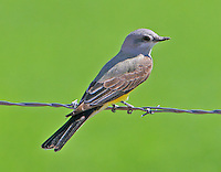 Western kingbird on fence wire