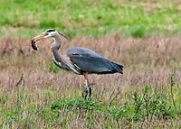 A Great Blue Heron is seen holding a vole he just captured in the Ridgefield National Wildlife Refuge.
