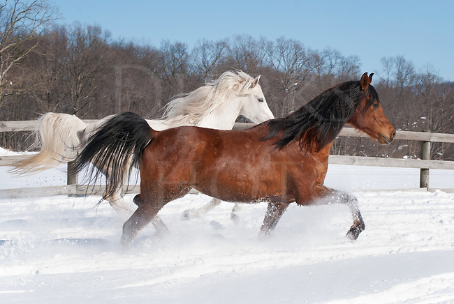 We put this pair of Arabians belonging to my horse trainer friend Cindy into a small paddock to run and let off some steam. They had been in the barn for the past two days as the storms went over, so they were extra ready to rip and go in the full sun and fourteen inches of powder snow Mother Nature had left behind. Many horses are excited by snow and really want to be out in it, just like any third grade kid with a new sled, and these two were no exception as they kept going round and round at a steady run, often side by side just like this image. There's nothing quite like a horse making the snow fly as it runs!<br /> <br /> This is the white stallion and bay mare that appear elsewhere in my work. They've been my graceful and poised models many times and are the parents of Allegra, another young horse model that comes up often in the portfolio.