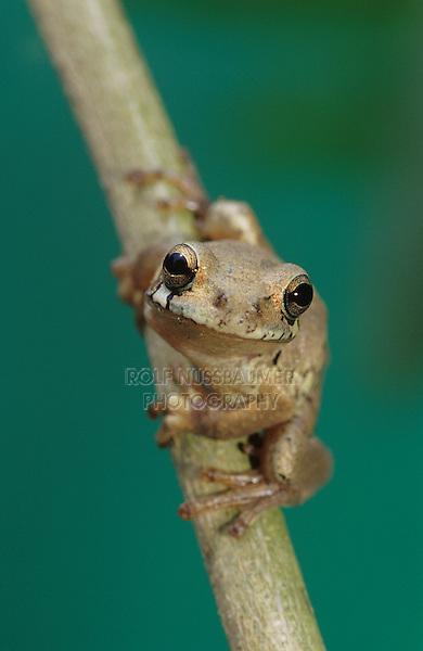 Mexican Treefrog, Smilisca baudinii, adult on Tree Bark, The Inn at Chachalaca Bend, Cameron County, Rio Grande Valley, Texas, USA