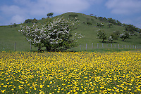 Buttercups in fields at Dinkling Green, Whitewell, Lancashire.