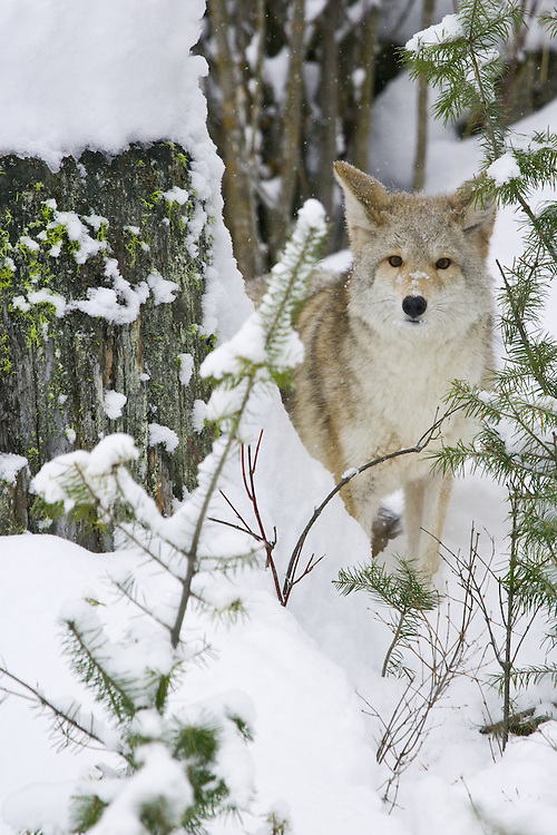 Coyote peering out from behind a snow covered stump - CA