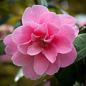 Camellia x williamsii 'Donation', early May.