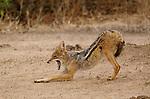 Black-backed jackal (Canis mesomelas), Zambezi National Park, Zimbabwe.