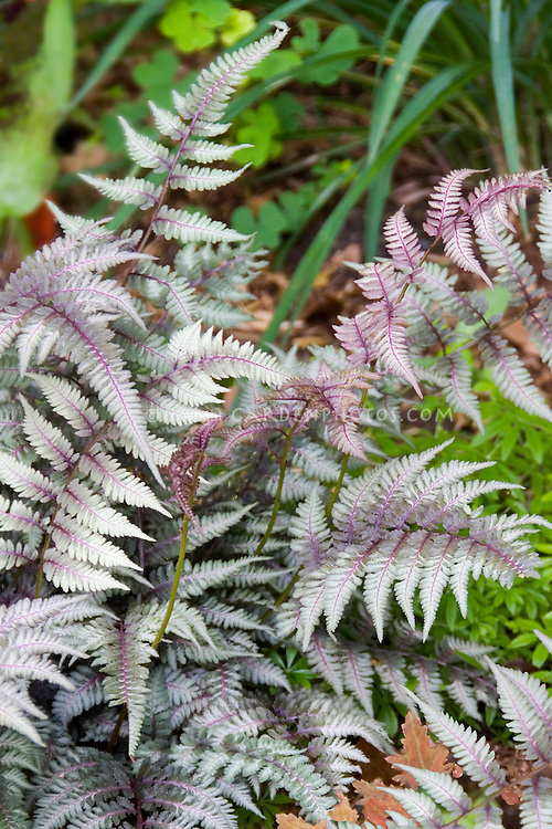 Japanese Painted Fern Regal Red showing violet veins, silver fronds