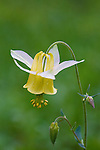 Yellow Columbine wildflowers in Montana
