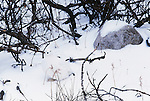 A willow ptarmigan in winter plumage is hidden on a brushy slope near Churchill, Manitoba, Canada