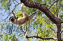Verreaux's Sifaka (Propithecus verreauxi) hanging in tree, Kirindy Forest, Western Madagascar. October. IUCN vulnerable Species.
