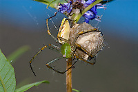 Green lynx spider (Peucetia viridans) guarding her egg case in vitex bush (Vitex agnus-castus), Portal,  Arizona