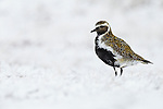 Golden Plover Pluvialis apricaria adult in summer breeding plumage in snow-covered moorland, Iceland, June