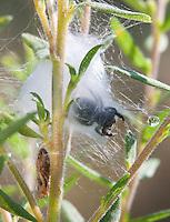 Bold Jumping Spider; Phidippus audax; silk sheter in goldenrod; PA, Philadelphia, Morris Arboretum