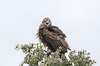 Milvus migrans<br /> <br /> Black kite calling.