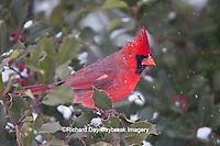 01530-206.17 Northern Cardinal (Cardinalis cardinalis) male in American Holly tree (Ilex opaca) in winter, Marion Co., IL