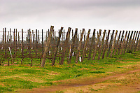 The vineyard with Tannat planted in 2002 with clone 717 and vines trained in cordon Royat Bodega Bouza Winery, Canelones, Montevideo, Uruguay, South America