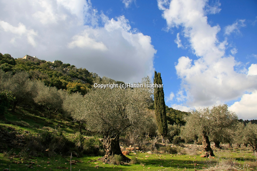 Israel, the Muhraka Monastery overlooking an olive grove by Carmel Scenic Road