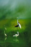 White faced Ibis Great Egret and snowy egrets grasslands South New Jersey (Egretta thula, Casmerodius albus, Plegadis chihi). Fairton New Jersey United States east coast marsh.
