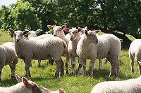 22.5.2020 Spring lambs <br /> ©Tim Scrivener Photographer 07850 303986<br />      ....Covering Agriculture In The UK....