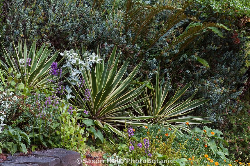 Yucca, variegated succulent in Elisabeth Miller Botanical Garden