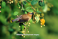 01415-021.17 Cedar Waxwing (Bombycilla cedrorum) in Shadblow Serviceberry bush (Amelanchier canadensis) Marion Co. IL