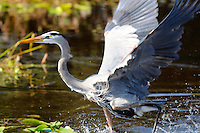 Great Blue Heron Dancing On The Water. Photographed at Wakodahatchee Wetlands, Delray Beach, Florida.