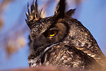 Portrait of a Great Horned Owl.