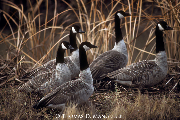 Small flock of canada geese walk together through reeds in Denali National Park, Alaska.