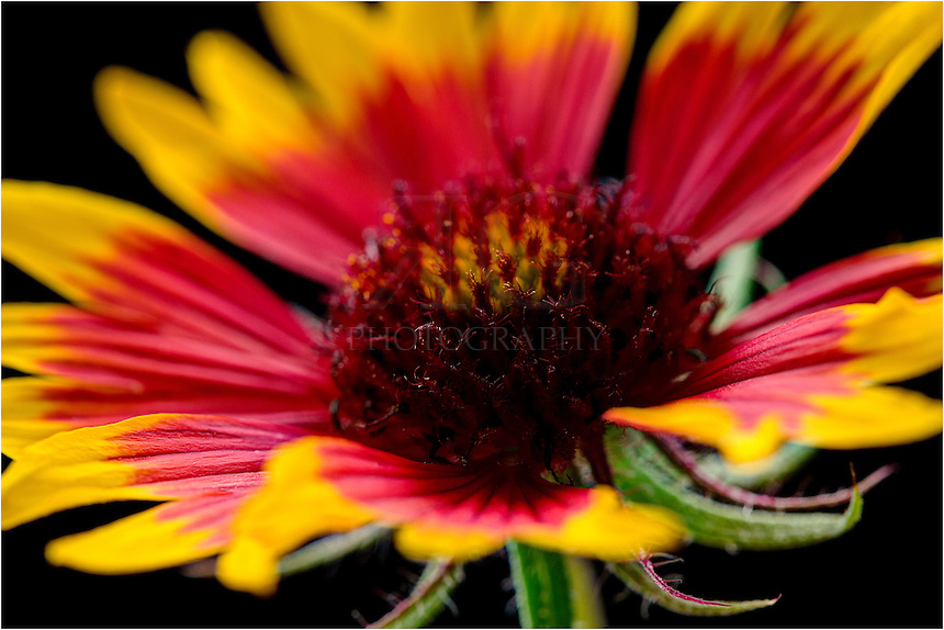 In this macro image of a Texas Wildflower - an Indian blanket or firewheel - you can see the intimate details of the heart of the flower. I shot this wildflower pictures against a black background. These Indian Blankets grow on our land and bloom starting in March and last pretty much throughout the summer and fall.
