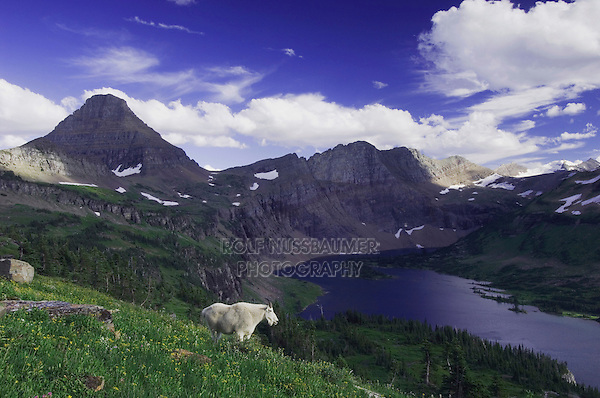 Mountain Goat,Oreamnos americanus, adult with summer coat over Hidden Lake,Glacier National Park, Montana, USA, July 2007