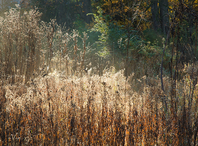 Grasses are backlit with the morning sun at Oldfiled Oaks Forest Preserve, DuPage County, Illinois