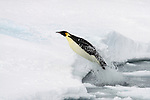Emperor Penguin (Aptenodytes forsteri) leaping, or porpoising, from water onto ice, Weddell Sea, Antarctica.