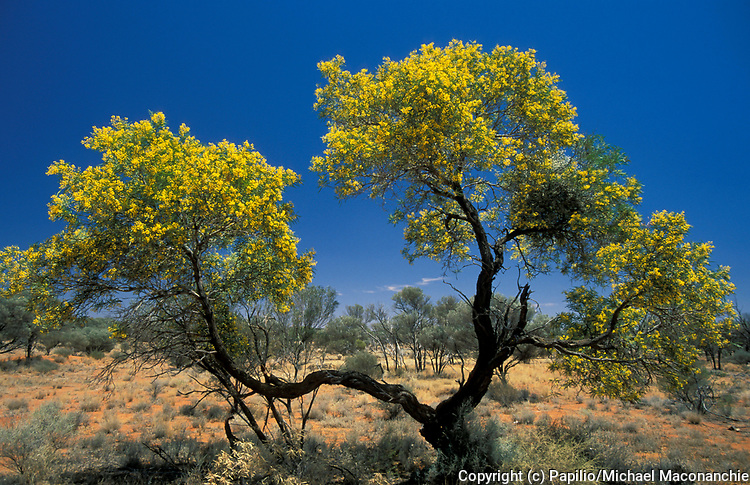 Wattle Tree, acacia sp., in flower Australia