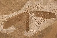 Versteinerte Mücke, Schnake, Fossil, Fossilien, Versteinerung, mosquito, Versteinerungen, fossils, Moler von den Inseln Fur und Mors, Diatomit oder Kieselgur, Übergang vom Oberen Paläozän zum Unteren Eozän vor etwa 55 Millionen Jahren entstandenes Sedimentgestein, Limfjord, Dänemark