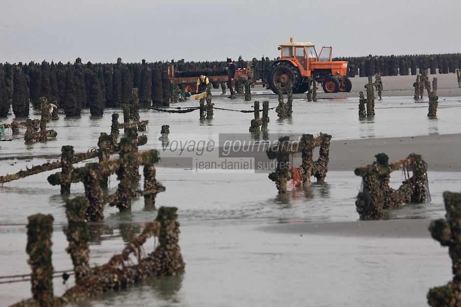 Europe/France/Picardie/80/Somme/Baie de Somme/ Saint-Firmin-les-Crotoy: Cueillette des Moules de Bouchot en baie de Somme  avec Mr Delabie myttiliculteur