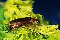 OR13-006a   American Cockroach on celery - Periplaneta americana