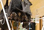 Tolga Bat Hospital -Spectacled Flying Fox(Pteropus conspicillatus)