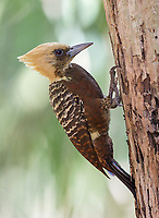 This was another new woodpecker species for me.