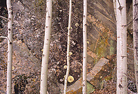 Aspen (Populus tremuloides) trees, rock and lichens, Whiteshell Provincial Park, Manitoba, Canada