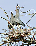 A great blue heron nesting pair, latin: Ardea herodias, build their nest.  Colorado