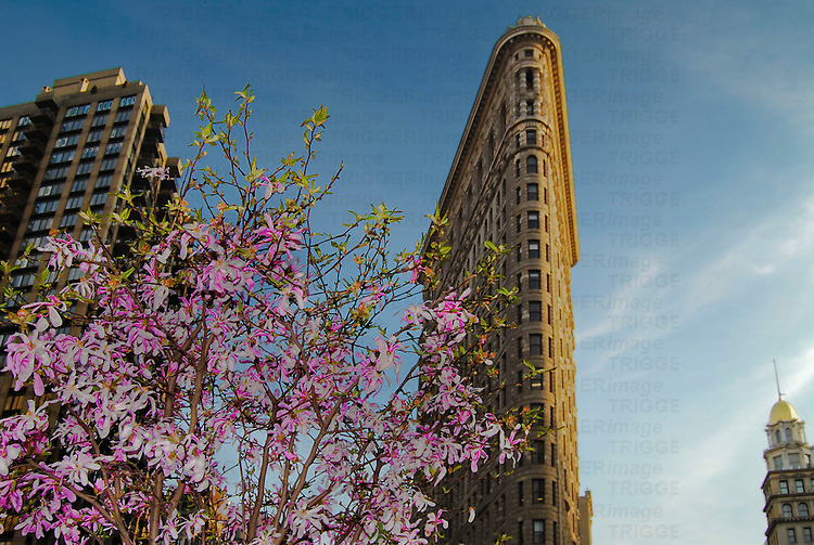 The Flat Iron Building in New York City at springtime with a magnolia tree in the foreground.