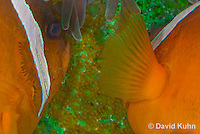 0322-1118  Pair of Tomato Clownfish Tending Eggs, Amphiprion frenatus  © David Kuhn/Dwight Kuhn Photography