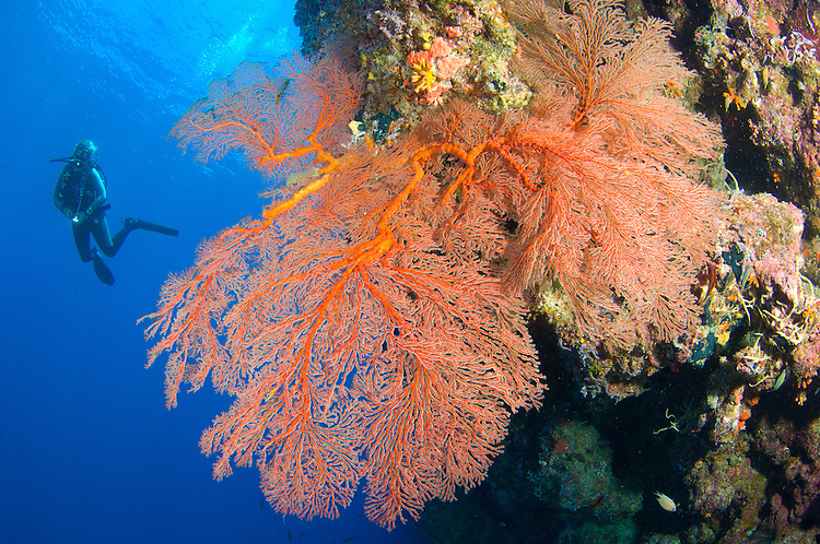 A diver looks on at large gorgonian sea fans (Subergorgia sp.), Solomon Islands