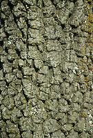 Bark of persimmon tree (Diospyros Virginiana), close up, Missouri,
