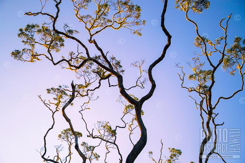 Looking up at a tree in the morning light at Pu'u Huluhulu Native Tree Sanctuary along Saddle Road, Hawai'i Island.