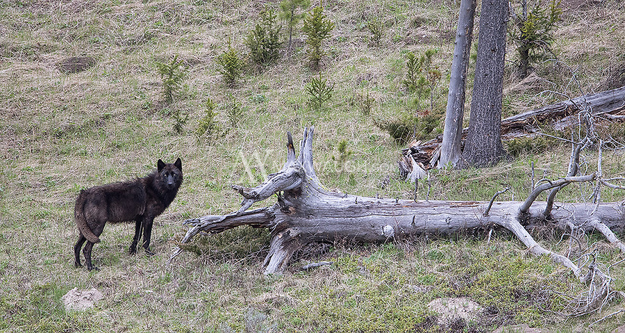 It's difficult to have close wolf encounters in Yellowstone these days. I was very fortunate to photograph this lone black wolf on my own from about 100 yards.
