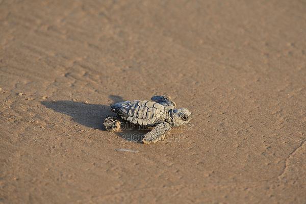 Kemp's ridley sea turtle (Lepidochelys kempii), baby turtle, South Padre Island, South Texas, USA