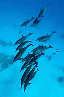 Spinner Dolphins, Stenella longirostris, in a nice formation above the ground at Shaab Marsa Alam, Ras, Marsa Alam, Egypt, Red Sea.