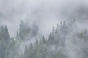 Pine forest enveloped in cloud, Nordtirol, Austrian Alps, June.